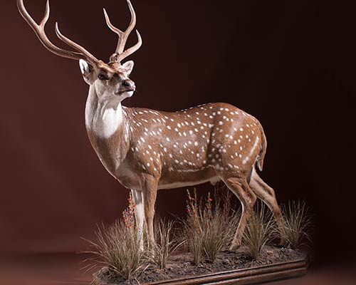Exotic Game Animals Taxidermy