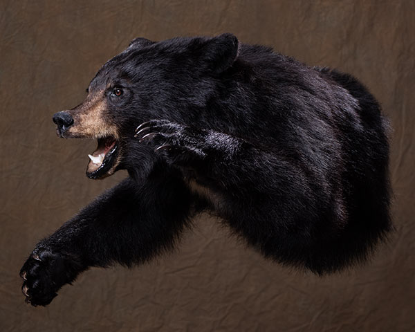 Bear Taxidermy of North America