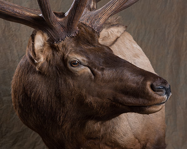Elk, Moose and Caribou Taxidermy of North America