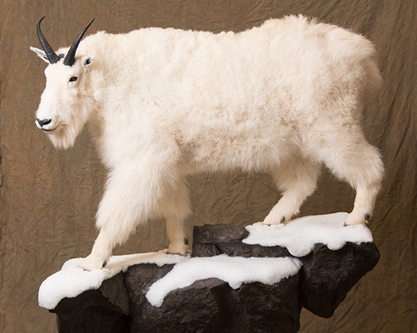 Goat, Sheep, Bovine and Bison Taxidermy of North America