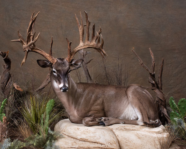 Whitetail Deer and Mule Deer Taxidermy of North America