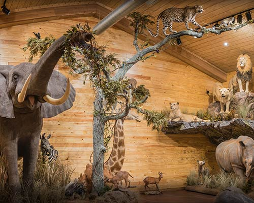 Game Animal Trophy Room Taxidermy