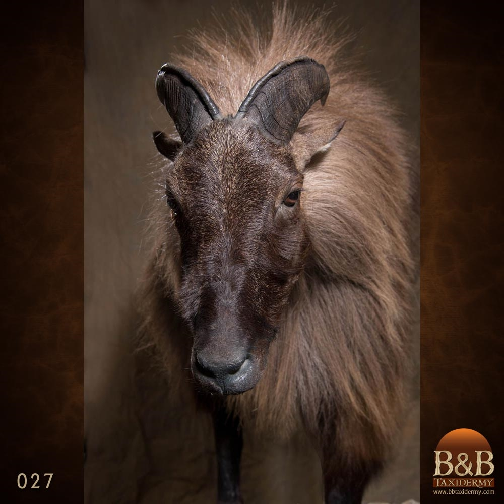 Tahr Amp Chamois Taxidermy Photo Gallery