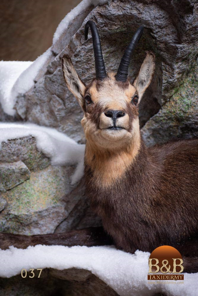 New Zealand Tahr Amp Chamois Taxidermy Gallery