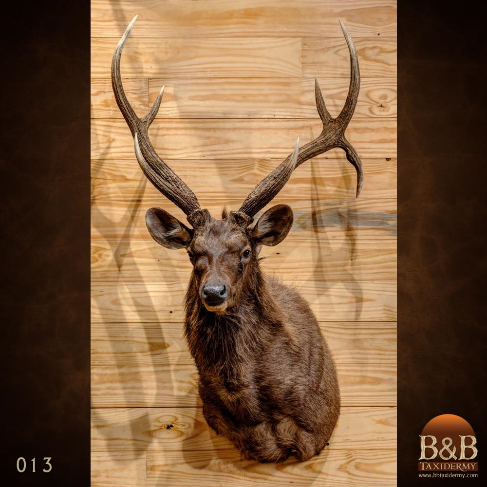 New Zealand Red Stag Taxidermy