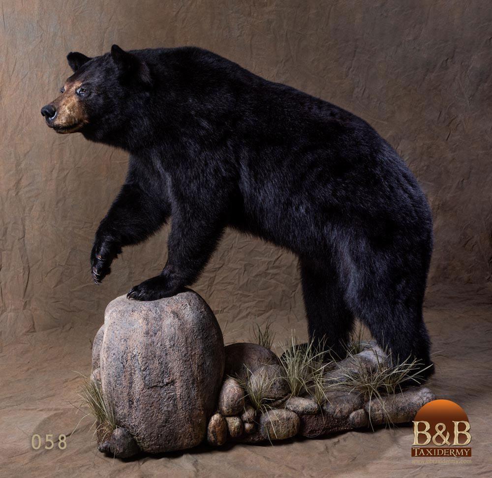 North American Bear Taxidermy